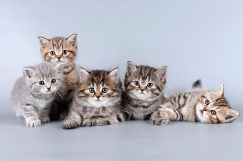 猫传腹病(猫传染性腹膜炎)来袭,猫家长该怎么办?