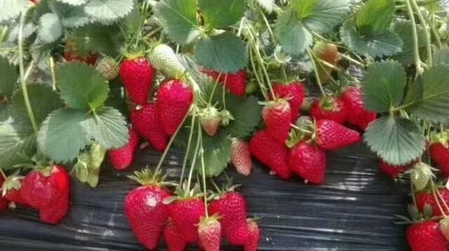 北京草莓采摘基地